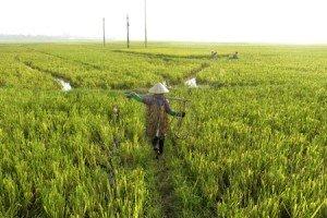 1-guide francophone hanoi-recolte du riz