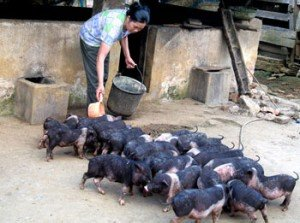 cochons vietnamiens