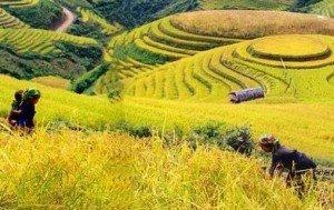 Le recolte du riz Sapa