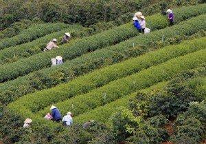 village de thé de Cau Dat