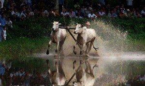La course de boeufs des Khmers An Giang