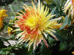 La fleur de chrysanthème.